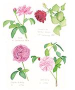 「バラのお絵かき教室~色鉛筆でバラを描こう!~」